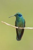 Steve Gettle - Green Violet-ear hummingbird, Costa Rica