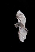 Steve Gettle - Seba's Short-tailed Bat flying, Michigan