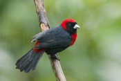 Steve Gettle - Crimson-collared Tanager male, Costa Rica