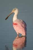 Steve Gettle - Roseate Spoonbill, Fort Myers Beach, Florida