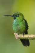 Steve Gettle - Green-crowned Brilliant hummingbird, Ecuador