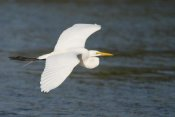 Steve Gettle - Great Egret flying, Fort Myers Beach, Florida