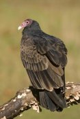 Steve Gettle - Turkey Vulture, Howell Nature Center, Michigan