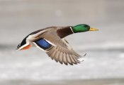 Steve Gettle - Mallard male flying, Belle Isle Park, Michigan
