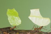 Steve Gettle - Leafcutter Ant pair carrying leaves, Costa Rica