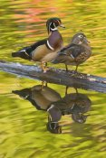Steve Gettle - Wood Duck pair, North Chagrin Reservation, Ohio