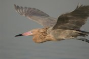 Steve Gettle - Reddish Egret flying, Fort Desoto Park, Florida
