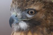 Steve Gettle - Red-tailed Hawk, Howell Nature Center, Michigan