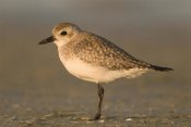 Steve Gettle - Black-bellied Plover, Fort Desoto Park, Florida