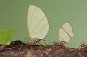 Steve Gettle - Leafcutter Ant group carrying leaves, Costa Rica