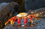Steve Gettle - Sally Lightfoot Crab, Galapagos Islands, Ecuador