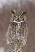 Steve Gettle - Great Horned Owl, Howell Nature Center, Michigan