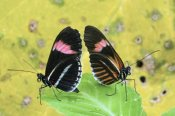 Steve Gettle - Crimson-patched Longwing butterfly pair, Ecuador