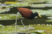 Steve Gettle - Northern Jacana foraging on lily pads, Costa Rica