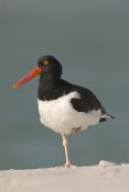 Steve Gettle - American Oystercatcher, Fort Desoto Park, Florida