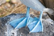 Steve Gettle - Blue-footed Booby feet, Galapagos Islands, Ecuador
