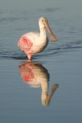 Steve Gettle - Roseate Spoonbill wading, Fort Myers Beach, Florida
