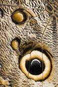 Steve Gettle - Atreus Owl butterfly wing with false eyespot, Ecuador