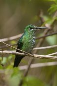 Steve Gettle - Green-crowned Brilliant hummingbird female, Costa Rica