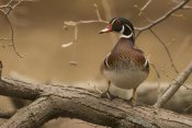 Steve Gettle - Wood Duck male, Kensington Metropark, Milford, Michigan