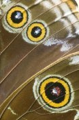 Steve Gettle - Blue Morpho butterfly wing with false eyespots, Ecuador
