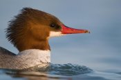 Steve Gettle - Common Merganser female swimming, Saginaw Bay, Michigan