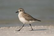Steve Gettle - Black-bellied Plover walking, Fort Desoto Park, Florida