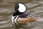 Steve Gettle - Hooded Merganser male, Kellogg Bird Sanctuary, Michigan