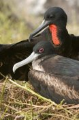 Steve Gettle - Magnificent Frigatebird pair, Galapagos Islands, Ecuador
