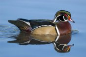 Steve Gettle - Wood Duck male swimming, Lapeer State Game Area, Michigan