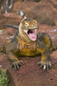 Steve Gettle - Galapagos Land Iguana yawning, Galapagos Islands, Ecuador