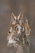 Steve Gettle - Eastern Screech Owl red morph, Howell Nature Center, Michigan