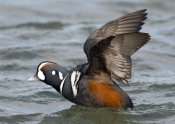 Steve Gettle - Harlequin Duck male taking flight, Barnegat Light, New Jersey