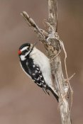 Steve Gettle - Downy Woodpecker male, Kensington Metropark, Milford, Michigan