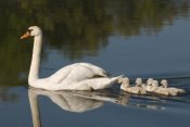 Steve Gettle - Mute Swan with cygnets, Kensington Metropark, Milford, Michigan