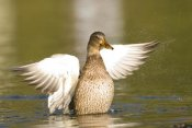 Steve Gettle - Mallard female stretching wings, North Chagrin Reservation, Ohio