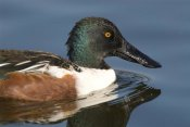 Steve Gettle - Northern Shoveler male swimming, Kellogg Bird Sanctuary, Michigan