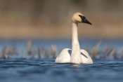 Steve Gettle - Trumpeter Swan swimming, Seney National Wildlife Refuge, Michigan