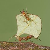 Steve Gettle - Leafcutter Ant carrying leaf with guard protecting worker, Costa Rica