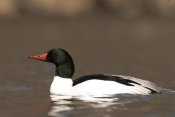 Steve Gettle - Common Merganser male swimming, Kensington Metropark, Milford, Michigan