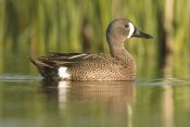 Steve Gettle - Cinnamon Teal male, J. Clark Salyer National Wildlife Refuge, North Dakota