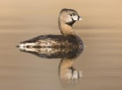 Steve Gettle - Pied-billed Grebe in breeding plumage, Island Lake Recreation Area, Michigan