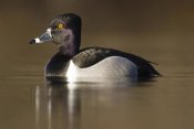 Steve Gettle - Ring-necked Duck male in breeding plumage, Island Lake Recreation Area, Michigan