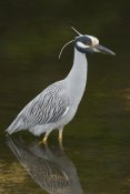 Steve Gettle - Yellow-crowned Night Heron, J. N. Ding Darling National Wildlife Refuge, Florida
