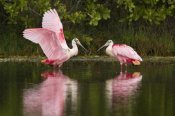 Steve Gettle - Roseate Spoonbill pair courting, Merritt Island National Wildlife Refuge, Florida