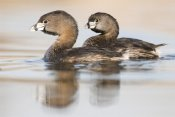 Steve Gettle - Pied-billed Grebe pair in breeding plumage, Island Lake Recreation Area, Michigan