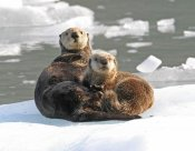 Michael Gore - Sea Otter female with pup on ice floe, Prince William Sound, Alaska