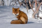 Sergey Gorshkov - Red Fox sitting on snow, Kamchatka, Russia