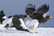 Sergey Gorshkov - Steller's Sea Eagle chasing away another adult, Kamchatka, Russia