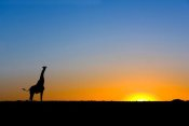Vincent Grafhorst - Giraffe silhouetted against the setting sun, Lethiau Valley, Central Kalahari Game Reserve, Botswana